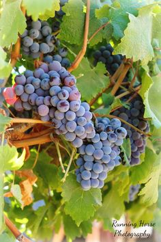 Grape Clusters, Psagot, Israel.