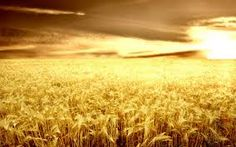 golden corn fields - Google Search