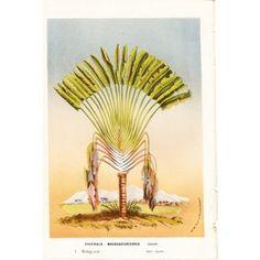 Traveler's Palm, Madagascar, C. 1860