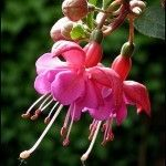 Wintering fuchsias is something that many fuchsia owners ask about. While fuchsias are a perennial, they are not cold hardy. You must take steps to over winter your fuchsia. This article can help with that.
