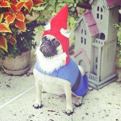 Gnome pug takes his garden responsibilities very very seriously.