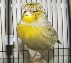 CANARIES WITH BEATLE HAIRCUTS.  I'VE SEEN A PURE WHITE ONE.
