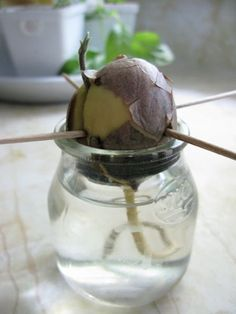 How To: Grow an Avocado Tree