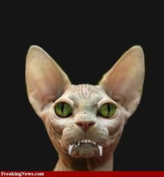 Creepy Cat, Scary, Ugly Animals, Ugly Cat, Rare Cats, Pet Breeds, Cool Cats, Being Ugly, Animal Pictures