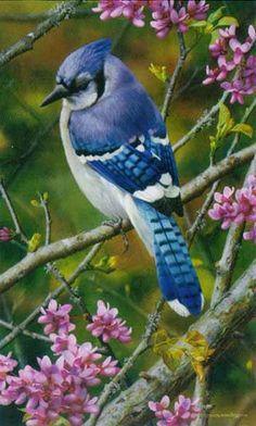 Flash of Sapphire - Blue Jay  by Carl Brenders