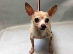 **SENIOR** Super Urgent 10YRS OLD** - VINNY - #A1101495 - MALE TAN CHIHUAHUA SH MIX,10 Yrs - STRAY - HOLD FOR HOSP - CAME IN WITH MARKO #A1101492