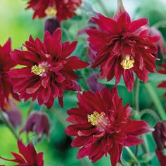 Flowers perpetually from May to Late July. Supplied as first grade loose roots. Landscaping Supplies, Front Yard Landscaping, Modern Japanese Garden, Planting Plan, Plant Lighting, How To Attract Hummingbirds, Plants Online, Plant Sale, Flowers Perennials