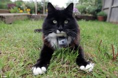On a rota: Kato, pictured in 'his' garden wearing a CatCam, would only leave house when the neighbour's cat had vacated the streets