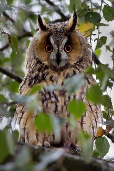What are you looking at? - Long-eared Owl - Asio otus (previously: Strix otus) by Menno Schaefer on 500px