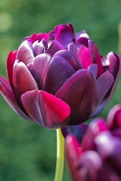 Double Rose Tulips | Double Tulip.