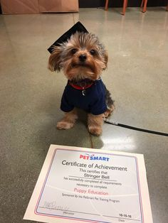 Yorkshire Terrier Completed Puppy Education #yorkshireterrier