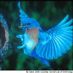 Google Image Result for http://www.fcps.edu/islandcreekes/ecology/Birds/Eastern%2520Bluebird/bluebird.jpg