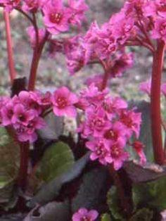 Bergenia cordifolia 'Eroica' / Garten-Bergenie