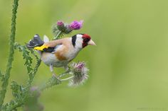 Goldfinch  Animals photo by as-berlin http://rarme.com/?F9gZi