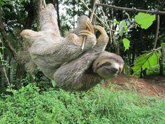 3 Toed Sloth3 - Imgur