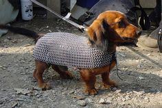 Dachshund wearing chainmaille