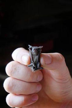 Photo...a teeny tiny baby bat:):)