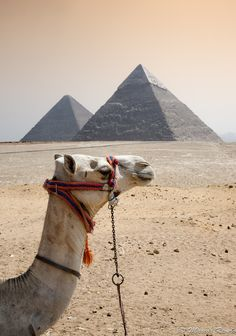 Camel / Egipto