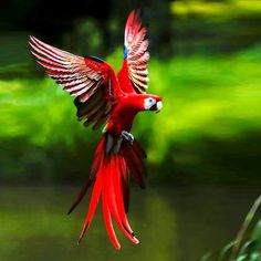 The scarlet macaw (Ara macao) is a large, red, yellow and blue South American parrot via FaceBook