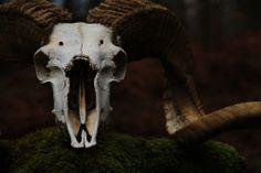 Ram skull in forest.