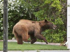 Bear startles Heights neighborhoods