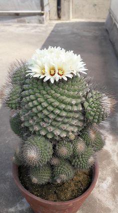 Strombocactus disciformis