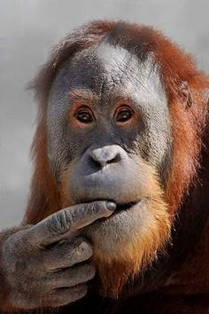 One of the Indianapolis Zoo's orangutans.