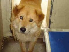A4475796 URGENT DOWNEY SHELTER is an adoptable Chow Chow Dog in Downey, CA. **WE NEED VOLUNTEERS TO POST & REMOVE PETS ON PETFINDER. IF YOU CAN COMMIT TO THE CAUSE OF HELPING SAVE SHELTER ANIMALS, PLE...