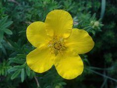 Ha szeretnénk egész nyáron át virágzó cserjét, ültessünk cserjés pimpót. Az aranysárga virágú változatok ráadásul igénytelenek, ellenállók. Felhasználásuk sokrétű. http://kertlap.hu/cserjes-pimpo-egesz-nyaron/