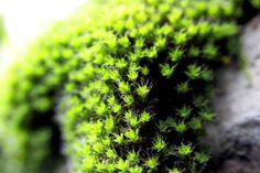 True Moss: Eukarya, Archaeplastida, [Kingdom Plantae], Embryophyta, Bryophyta. Alternation of Generations - Nonvascular Gametophyte Leaves - Smaller Size - Multicellular Rhizoids - Dioecious & Monoecious - Dependent Sporophyte - Archegonium: Slender Neck, Sperm Attractant, Ventor (Egg), Stalk -  Antheridium: Stalk, Jacket, Sperm - Sporangium - Peristome - Seta - Capsule - Protonema