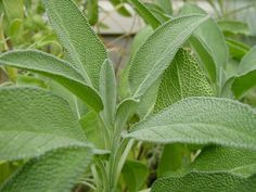 "100 Seeds, Sage Herb ""Broad Leaved"" (Salvia officinalis) Seeds by Seed Needs) by… - Modern Salvia, Herb Seeds, Herbs, Plants, Sage Herb, Medicinal Plants, Sage Seeds, Perennials, Perennial Herbs"
