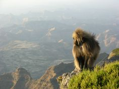 Simien Mountains National Park.  The dramatic mountainous landscape of the simian national park in the northern Ethiopia is home to some of the rarest animals on earth, including the simian fox, the Gelada Baboon ,and Walia ibex .The jagged mountains reach a height over 4,000 meters ,plunging down into deep gorges and leveling off into grassy plateau where it is possible to catch sight of the lion-like gelada baboon.The area was created by massive erosion. The Park was one of the first four…