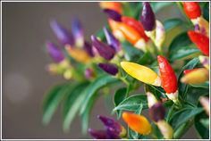 Bolivian Rainbow Chile Pepper Seeds,Great for growing in a patio planter, Container and Garden bed.