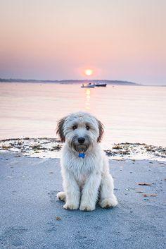 A WHEATEN! Waffles, a soft-coated Wheaten terrier from Southampton, Massachusetts via Garden & Gun