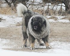 warriorprose:  This is a Caucasian Ovcharka. A Russian dog used to hunt bears and kill wolves. - Imgur