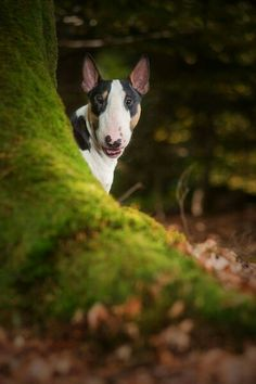 the most beautiful color for a bullterrier