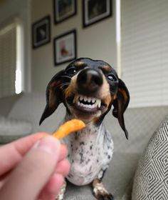 My 2 favorite things!!! Doxies and cheetos!