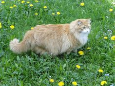 Murchyk the cat and dandelions