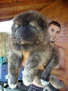 Top 7 Strangest Caucasian Mountain Dog Facts The Caucasian Mountain Dog is one of the largest dog breeds that you can ever find. There are more than 10 names that are used for referring to this dog breed such as the Bombora, CO, Caucasian, Cauca Chubby Puppies, Cute Puppies, Dogs And Puppies, Adorable Dogs, Puppies Gif, Fluffy Puppies, Huge Dogs, Giant Dogs, Small Dogs