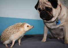 A pug & a hedgehog in the same picture is just too much cuteness to handle. Funny Hedgehog, Baby Hedgehog, Funny Animals, Cute Animals, Pug Mug, Pugs And Kisses, Pug Love, In This World, Puppies