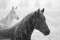 White and black horses in snow