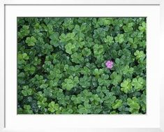Dewy California Redwood Sorrel (Oxalis Sorrel) with Solitary Flower in Bloom, Redwood National Park Photographic Print by Jeff Foott at Art.com