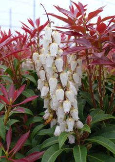 japonica 'Mountain Fire'  Japanese Pieris  Evergreen shrub with beautiful fiery red new growth that matures to a lustrous deep green. A prolific producer of broad, pendulous white flower clusters.  Height: 4-8'   Spread: 3-6'   Zone: 5-8