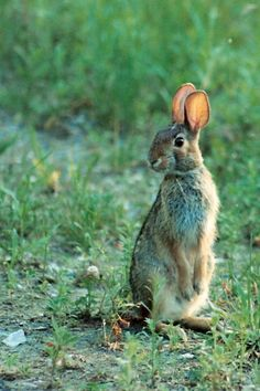 how to tell if a baby cottontail is dying
