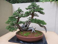 "The Practical Plant Geek: Pacific Rim Bonsai Collection This is not only a Korean yew, it's a Korean bonsai as well (pronounced ""boonjay"" in Korea). I didn't know this, but the art of bonsai made its way to Korea before crossing the sea to Japan. It makes sense now that I think about it, since bonsai originated with the Chinese art of penjing."