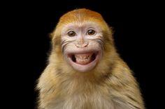Döbbenetes diétás étel készült! A káposztaropogóstól lehidalsz! - Ripost Primates, Mammals, Science Videos For Kids, Disneyland, Macaque Monkey, Cute Baby Monkey, Animal Jokes, Dog Jokes, Animal Pics