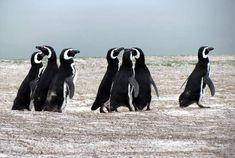 Magellanic penguins in the Falkland Islands Holland America Cruises, Holland America Line, Penguins, Islands, Ship, Explore, Animals, Animales, Animaux