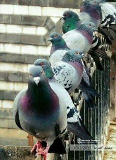 Doves in Macca Pretty Birds, Beautiful Birds, Reptiles, Feral Pigeon, Animals And Pets, Cute Animals, Fat Bird, Dove Pigeon, Funny Birds