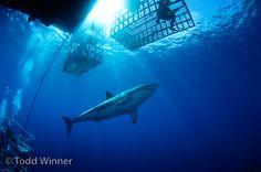 Go Shark Diving