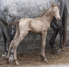 Aztec Perla de Oro, PRE (Andalusian) filly  with a cream and a pearl gene.